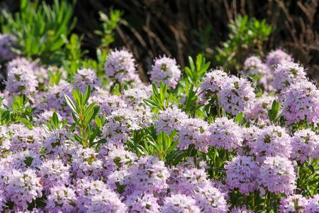 savory: Summer savory in the garden Stock Photo