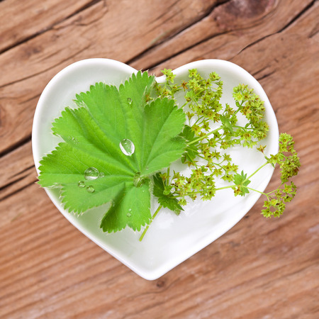 alchemilla: Homeopathy and cooking with ladys mantle Stock Photo