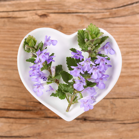 Homeopathy and cooking with ground ivy Stockfoto