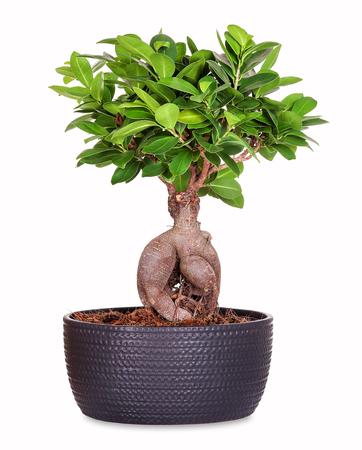 Bonsai ginseng ficus Zdjęcie Seryjne - 88218840