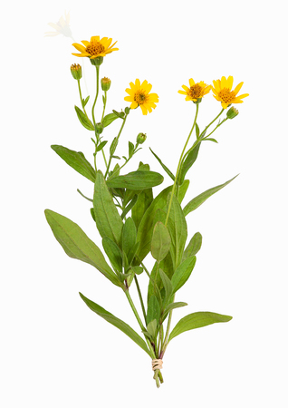 Arnica montana plant,  isolated on white 版權商用圖片
