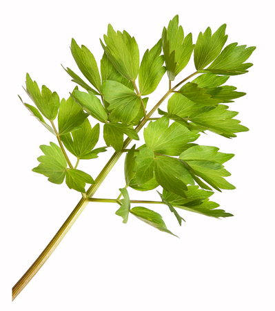 Lovage herb plant, isolated