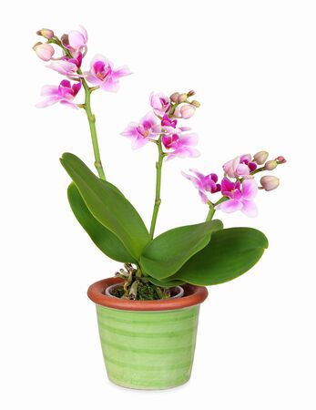 Mini orchid in green ceramic pot, isolated