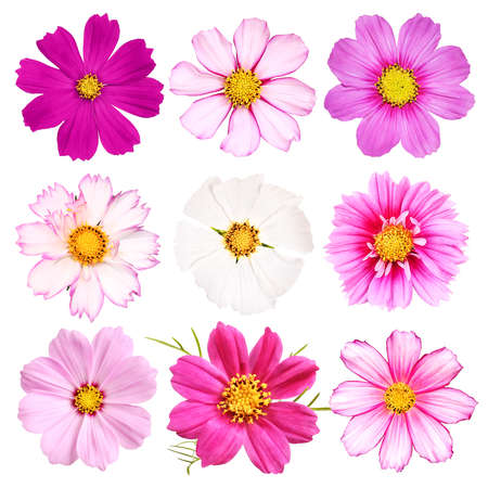 Different sorts of cosmos blossoms