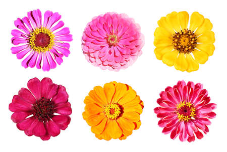 Various zinnia flowers from above, isolated