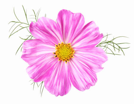 Rare white pink striped cosmos flower, isolated