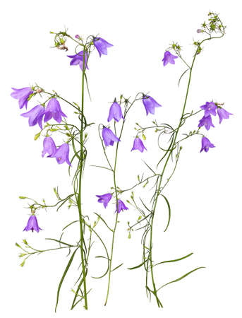 Several stems of purple meadow bluebells, isolated