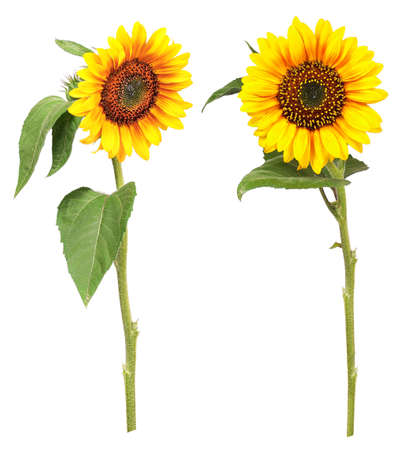 Different views of sun flowers