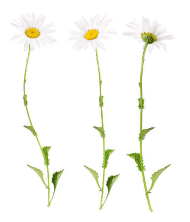 White marguerites from different sides