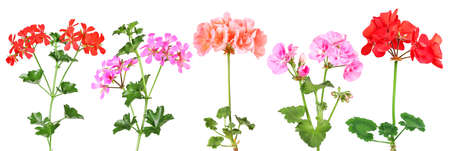 Various hanging and standing geraniums