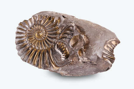 Fossilized snail in the stone, ammonite 免版税图像