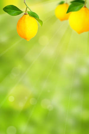 Plantation with lemon trees and blurry background