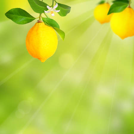 Lemons with blossom and blurry background Stock Photo