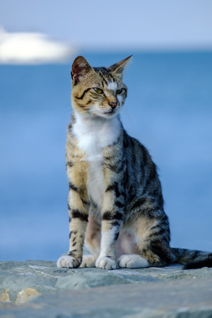 Three-colored cat resting against the backdrop of the Marmara Sea