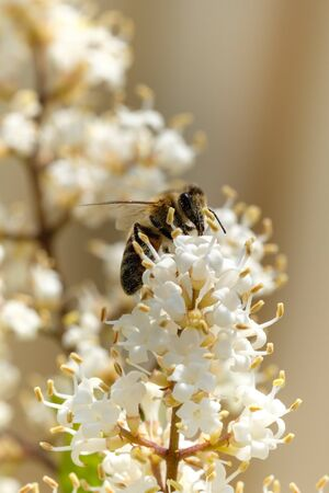 White flowers oval-leaved privet with a bee close up