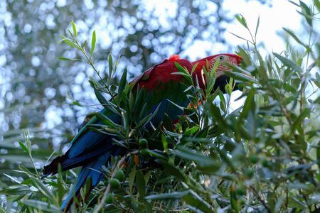 Blue and red macaw parrot on a branch of olive tree close up Stock Photo
