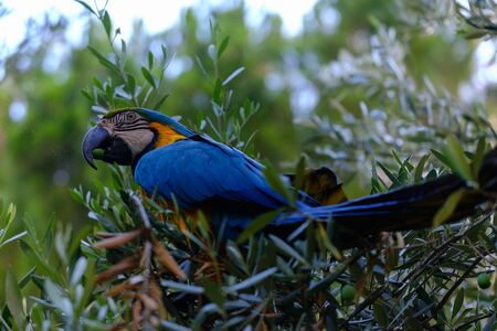 Blue macaw parrot on a branch of olive tree