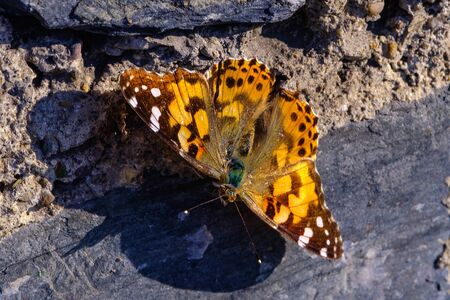 Monarch butterfly on a stone wall close-up