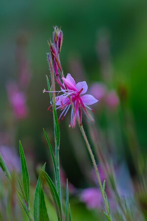 Small pink flowers in the garden at sunrise