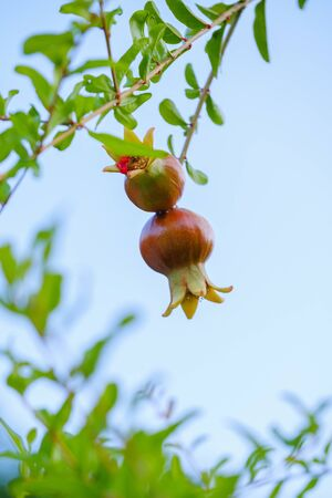Pomegranate on a branch on a blue background