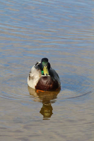 Duck in water photo