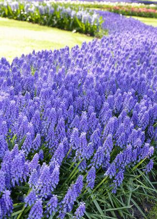 hyacinths: Blue hyacinths