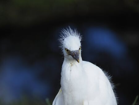 Newborn Snowy Egret that trying to fly he tallow himself from his tree with such bad luck that he fell to the ground and now he's very curious about the human who has a camera.