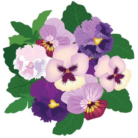 violet red: bouquet from white, violet and lilac pansy Illustration