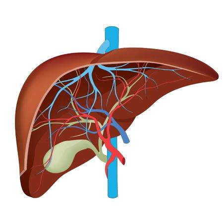 higado humano: Hígado Estructura del hígado humano científicamente exacta Vectores
