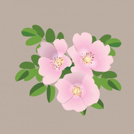 Dog rose gentle pink bouquet  Vector