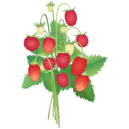 bouquet with wild strawberry  Vector