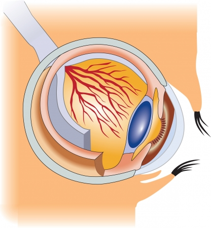 The structure of the human eye  Vector