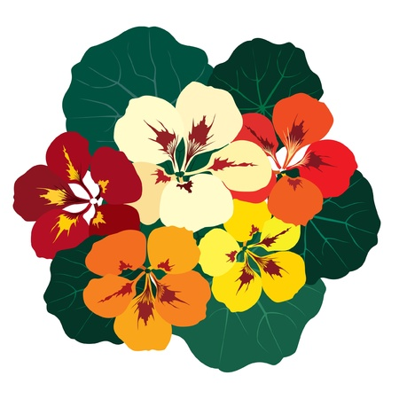 bouquet of flowers mulicolor nasturtium Vector