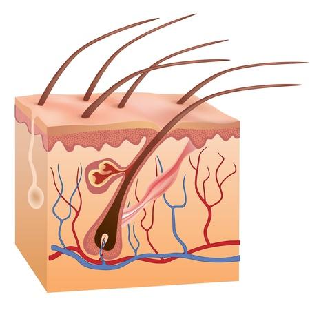 piel: La piel humana y la ilustraci�n vectorial estructura del cabello