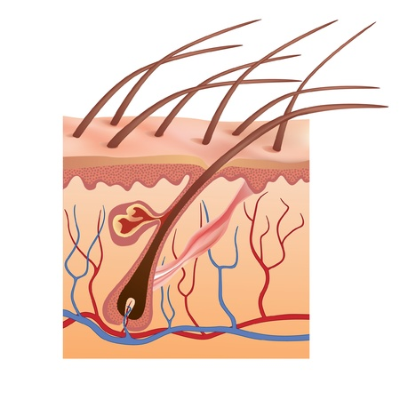 DERMATOLOGY: Human skin and hair structure  Vector illustration  Illustration