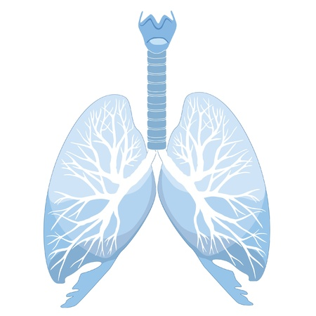 transparent system: Human lungs and bronchi  Vector illustration