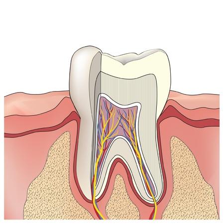 caries dental: Anatom�a del diente estructura de ilustraci�n vectorial dientes Vectores