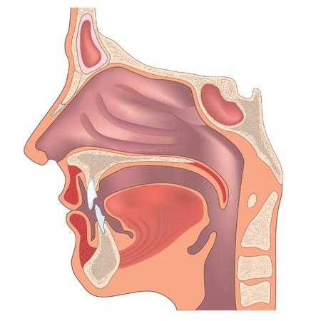 Anatomía de la nariz y la garganta Ilustración de vector