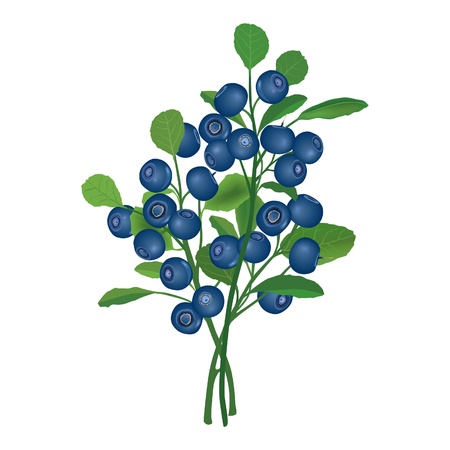 bog: Blueberry  Berry garland  Ripe blue billberries with leaves bush  Photorealistic  illustration