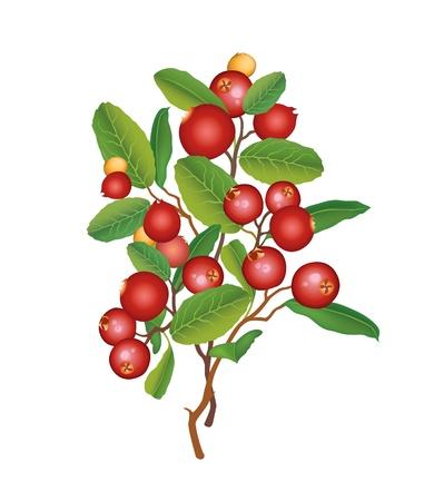 arandanos rojos: Cranberry Berry guirnalda maduras ar�ndanos rojos con las hojas del arbusto de ar�ndanos ilustraci�n Vectores