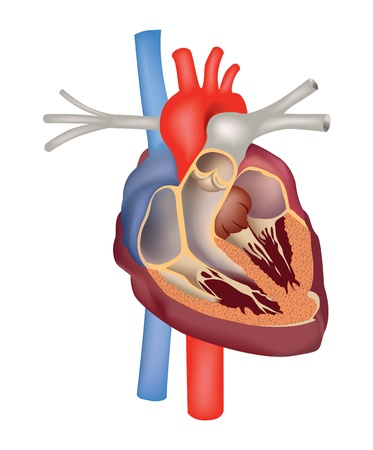 heart valves: Heart cross section  Human heart anatomy vector illustration