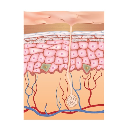 skin problem: Human skin structure  Vector illustration of epidermis anatomy