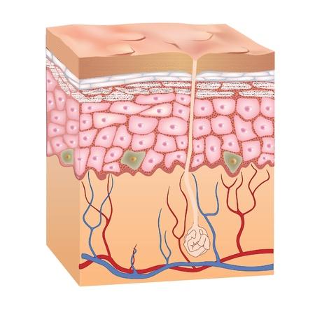 epiderme: Peau humaine la structure Vector illustration de l'anatomie de l'�piderme