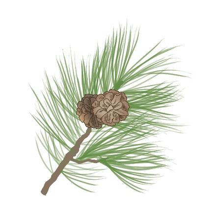 fir cone: Pi�a Collection Vectores