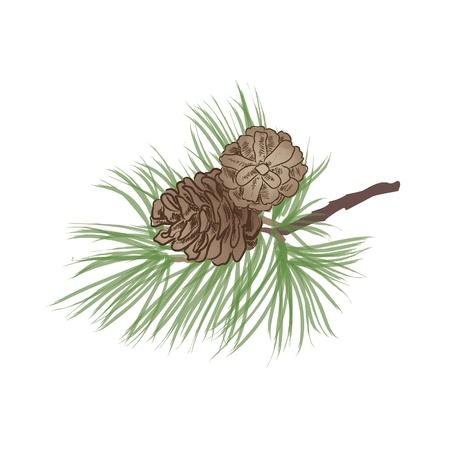 pine cone: Pigna Collection Vettoriali