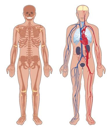 흰색 배경에 인간의 신체 구조의 골격과 순환 혈관 시스템에 고립 된 벡터 일러스트 레이 션의 인체 해부학 세트