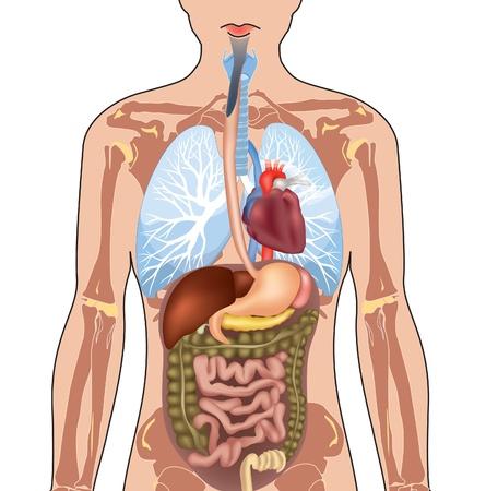 organos internos: Anatomía del cuerpo humano Ilustración vectorial aislados en fondo blanco