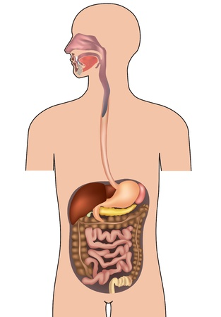gut: Human digestive system  Gastrointestinal system with details  Vector illustration isolated on white background