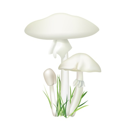 mycology: Toadstool isolated on white background  Death cup mushroom vector illustration  Amanita phalloides