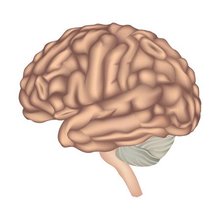 occipital: Human brain lateral view